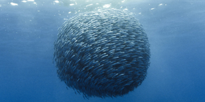 School of Anchovies