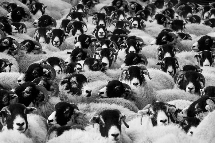 sheep-17482_1280